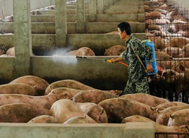 Zoono secures Chinese distributor after impressive African swine fever trials