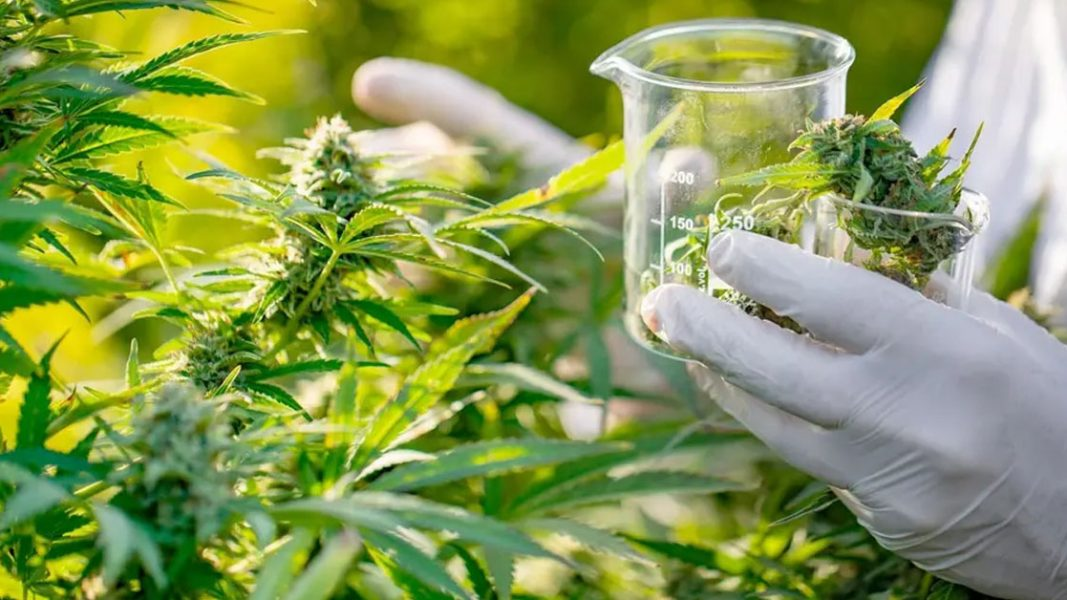 Bod commences cannabis trial with 500 Australians targeting anxiety and insomnia