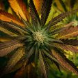 ECS Botanics lines up UK and German customers for cannabis exports